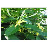 Anti Virus Honeysuckle Flower Extract , Lonicera Japonica Flower Extract CAS 327 97 9 Manufactures