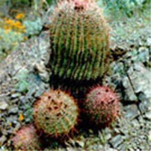 China Cactus Extract Powder on sale
