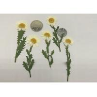 Fashion Dried Pressed Flowers White Chrysanthemum / Stem For Leaf Vein Bookmark Gifts Manufactures