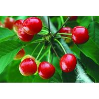 China fruit powder fruit juice powder China supplier-Natural Herb Cherry Powder on sale