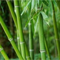 Bamboo Extracts, Can Improve the Condition of Hair and Skin Manufactures