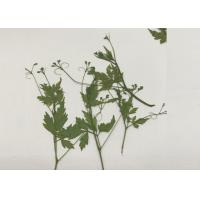 Green Pressed Flower Artwork , Decoration Pea Plant Drying And Pressing Flowers Manufactures