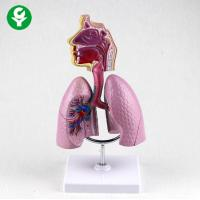 China Respiratory System Model For Medical School Medical Supplies Human Teaching on sale