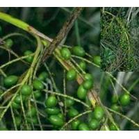 Saw Palmetto Extract Manufactures