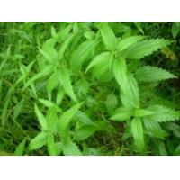 Herbs Sting Nettle Root Extract Supplement For Hair Loss / Big Man Male Enhancement 145414-76-2 Manufactures