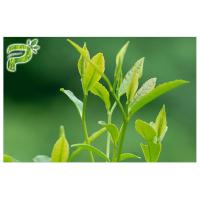 Green Tea Plant Extract Powder Preventing Radical Symptoms Polyphenols 95% UV Test Manufactures