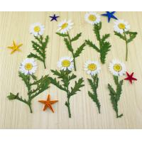 Small Chrysanthemum Dried Pressed Flowers Size Customized For DIY Christmas Card Manufactures