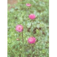 Milk Thistle Extract Powder Manufactures