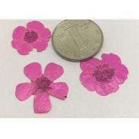 Buttercup Dried Pink Flowers , Small Pressed Flowers For Plant Teaching Specimen Manufactures