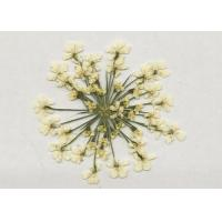 White Lace Dried Pressed Flower Diameter 1.5-2.5CM Plant Material For DIY Holiday Gift Manufactures