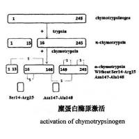 Human Chymotrypsin Proteolytic Enzyme  Recombinant Enzyme CAS 9004-07-3 EC 3.4.21.1 Manufactures