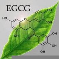 China Hot selling 99% EGCG - Epigallocatechin CASNO. 989-51-5 white pure powder on sale