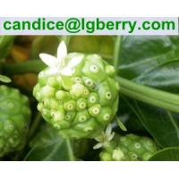 Natural Noni fruit extract/Morinda citrifolia extract powder(10 years factory) Manufactures