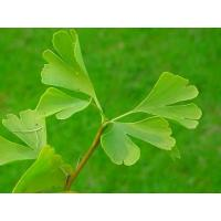 Buy cheap Ginkgo Biloba Extract from wholesalers