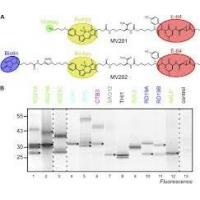 Staphylococcus Aureus v8 Protease  Glutamic Acid Proteases for Analyzing Protein Sequencing Manufactures