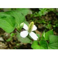 Skin Conditioner Natural Cosmetic Ingredients Houttuyniae Cordata Thund Extract Manufactures