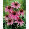 Buy cheap Echinacea Purpurea Extract from wholesalers