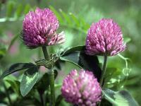 Red Clover Extract Manufactures