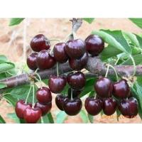 China Tart Cherry Extract/Black Cherry Extract/Prunus serotina fruit powder/Cherry Stem Extract on sale