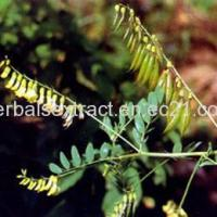 China Astragalus Root Extract,Astragalus Membranaceus Bge on sale