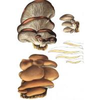 Buy cheap Oyster mushroom Extract from wholesalers