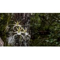 China University of Florida scientists work to preserve the endangered Ghost Orchid on sale