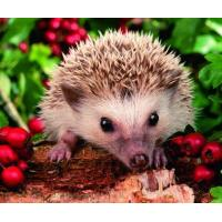 5B33 Baby hedgehog (for 6 cards)
