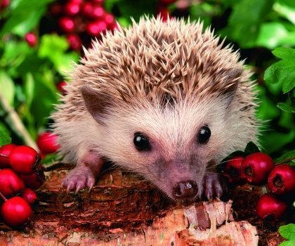 Quality 5B33 Baby hedgehog (for 6 cards) for sale