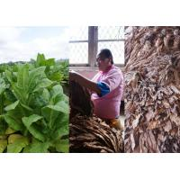 Buy cheap Burley Tobacco from wholesalers